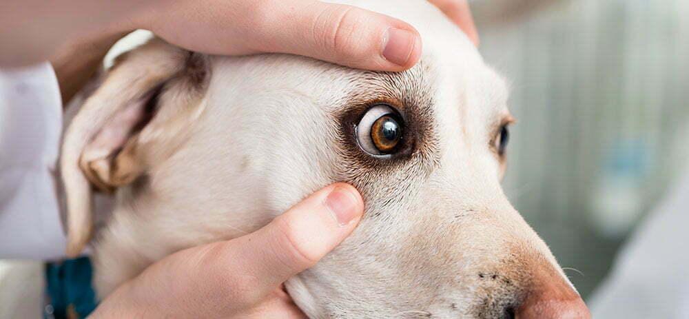 dog eye exam with veterinarian